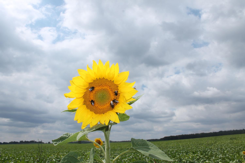 Eva-Loth-Sonnenblume
