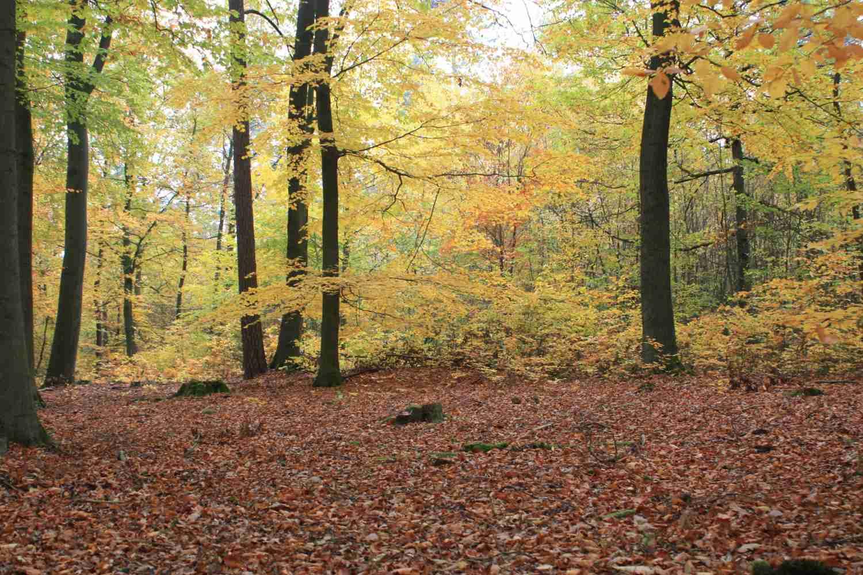 bunte Buchenwälder (1)