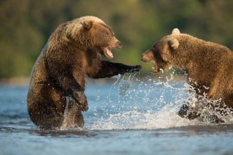 Kamtschatka, Bären