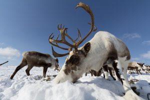 Rentiere, Kamtschatka