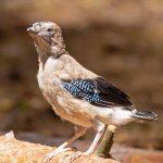 Eichelhäher, Jungvogel