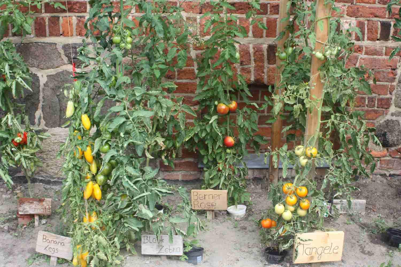 Tomatenbeete (3)