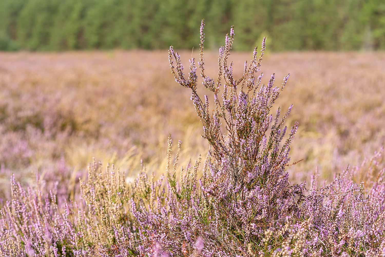 Werbiger Heide, Besenheide