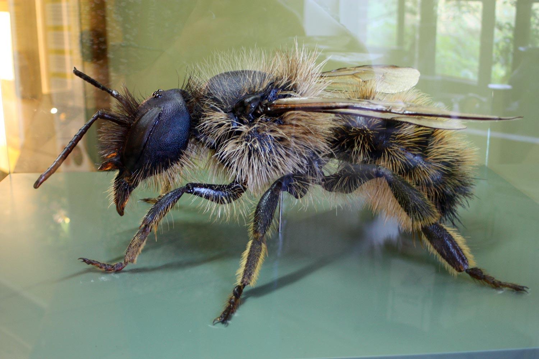 Model einerWildbiene